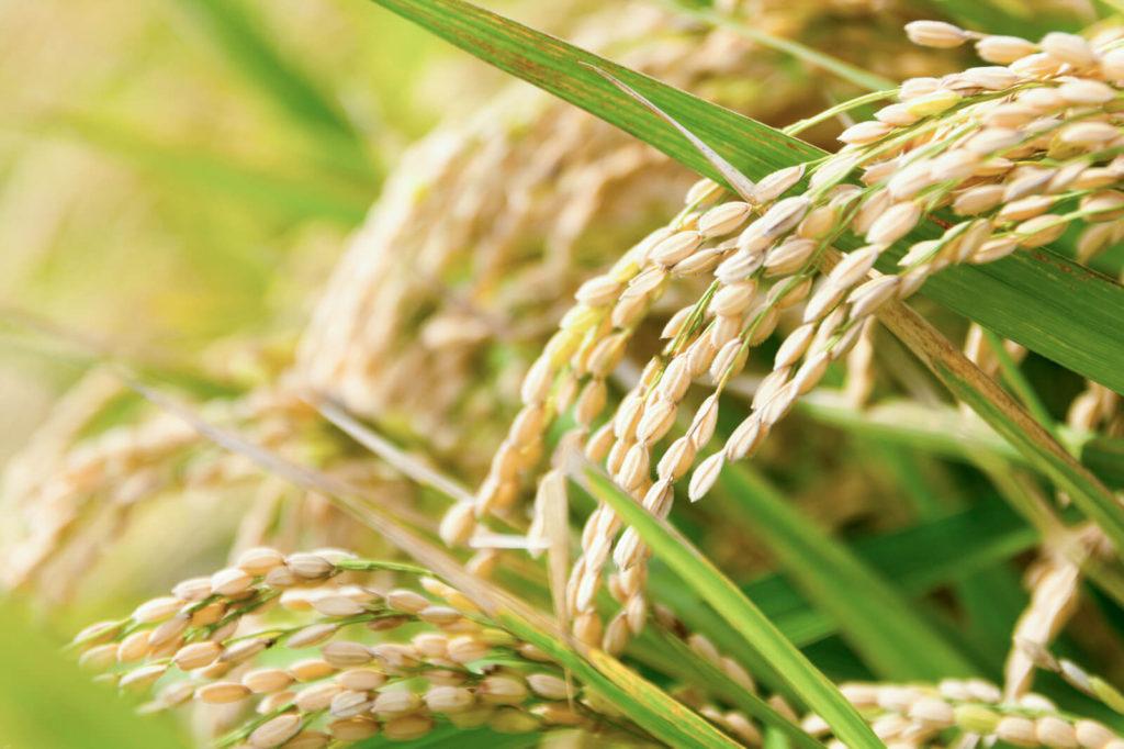 お米の写真
